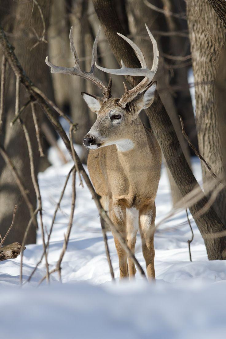 Winter Buck - Late season white-tailed deer