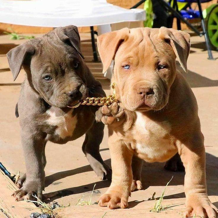 Pinterest Sweetness Pitbull Puppies Cute Animals Cute Baby