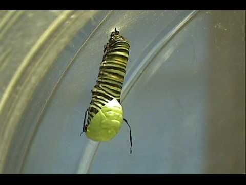 Monarch Butterfly Metamorphosis - caterpillar to chrysalis in real time