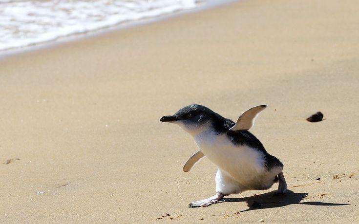 De mooiste foto's van vogels: pinguïn (strand bij Sydney)