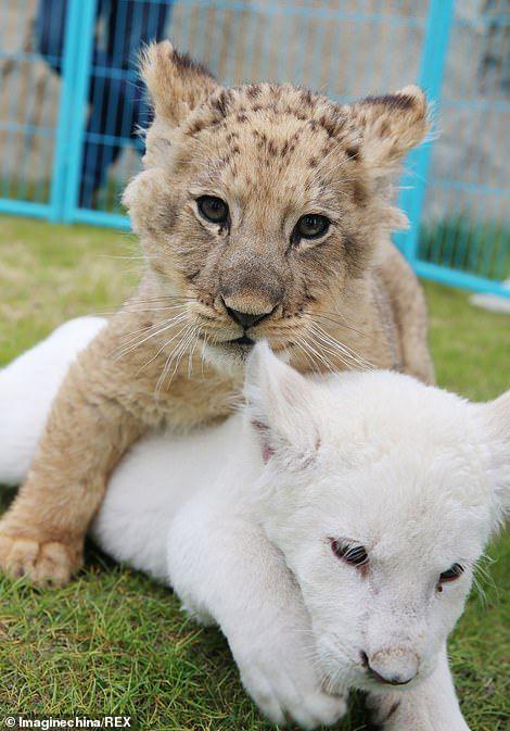 Entzückende Bilder zeigen das Tierbaby, das mit einem anderen afrikanischen Löwenbaby und …   – Animals
