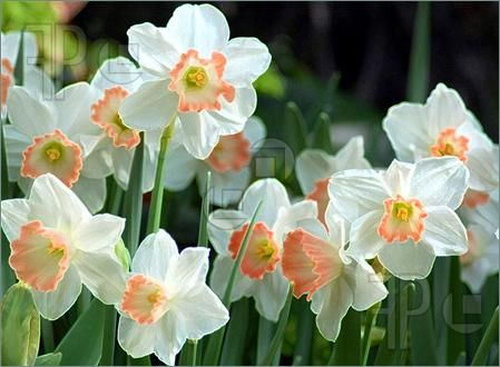 jonquil | Photo of Jonquil flowers in a group.Botanical Gardens,