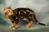 Brown Marble Bengal Cats | Picture of young brown marble bengal cat