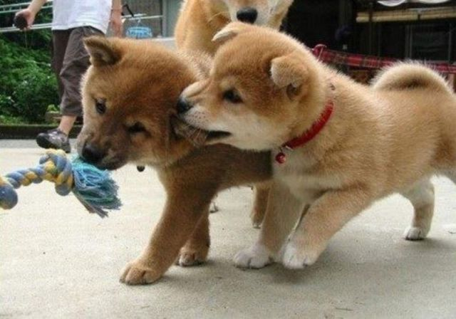 Get back here with the toy!: Plays Puppies, Dogs, Shiba Puppies, Tug Of War, Pet Pictures, Shiba Inus,  Chow Chow, Shibainu, Adorable Animal
