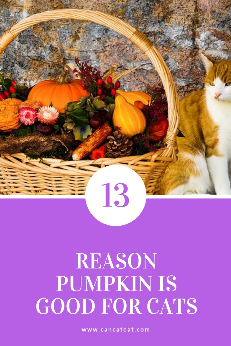 13 Beneficial Fact About Can Cats Eat Pumpkin in 2020