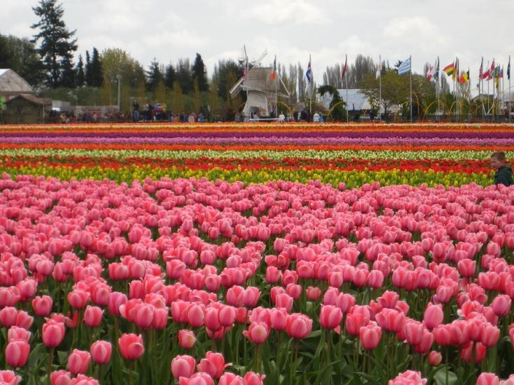 Tulip Festival! Mount Vernon, WA