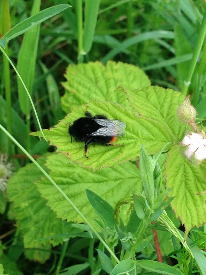 Red-tailed bumblebee on NWT's Blessington reserve