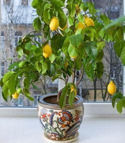 how to grow a lemon tree from seed inside