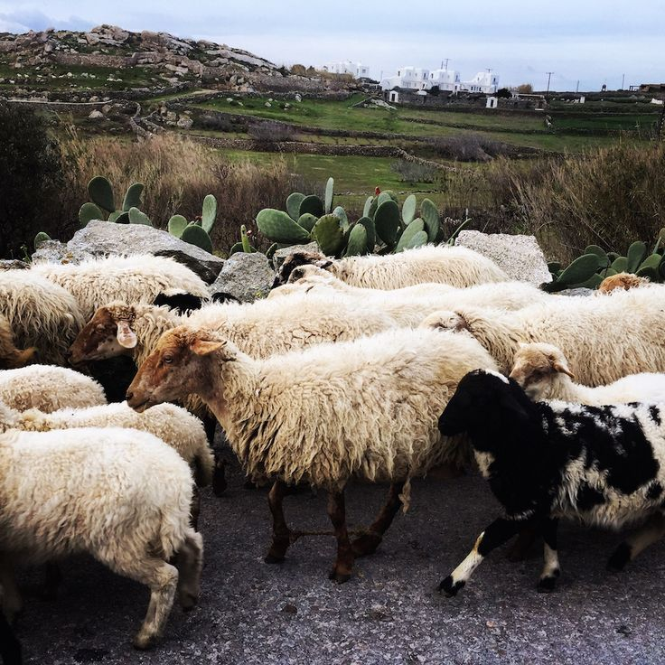 Winter in Mykonos, Sheeps