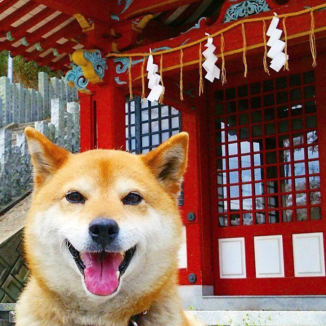 walk my dog お散歩中、神社の前を通ったので、狛犬と撮ろうと思ったけど、狛犬が大き過ぎて一緒に撮れず 犬こま、単独picになりました(笑)…