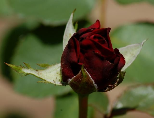 "Do you think it would be cool to give someone a black rose for Valentine's Day? Why not research the meaning behind the various rose colors a little, first, before acting hastily? My article, ""What Black Roses Mean and 10 Other Facts About Roses"" is a good place to start: http://landscaping.about.com/od/rosebushes/tp/what-do-black-roses-mean.htm"