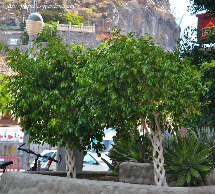 Ficus benjamina con tallos trenzados se puede cultivar en interiores muy iluminados plantas - Plantas interiores ...