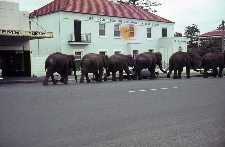 Elephants in Manning Street, Kiama. c1960.