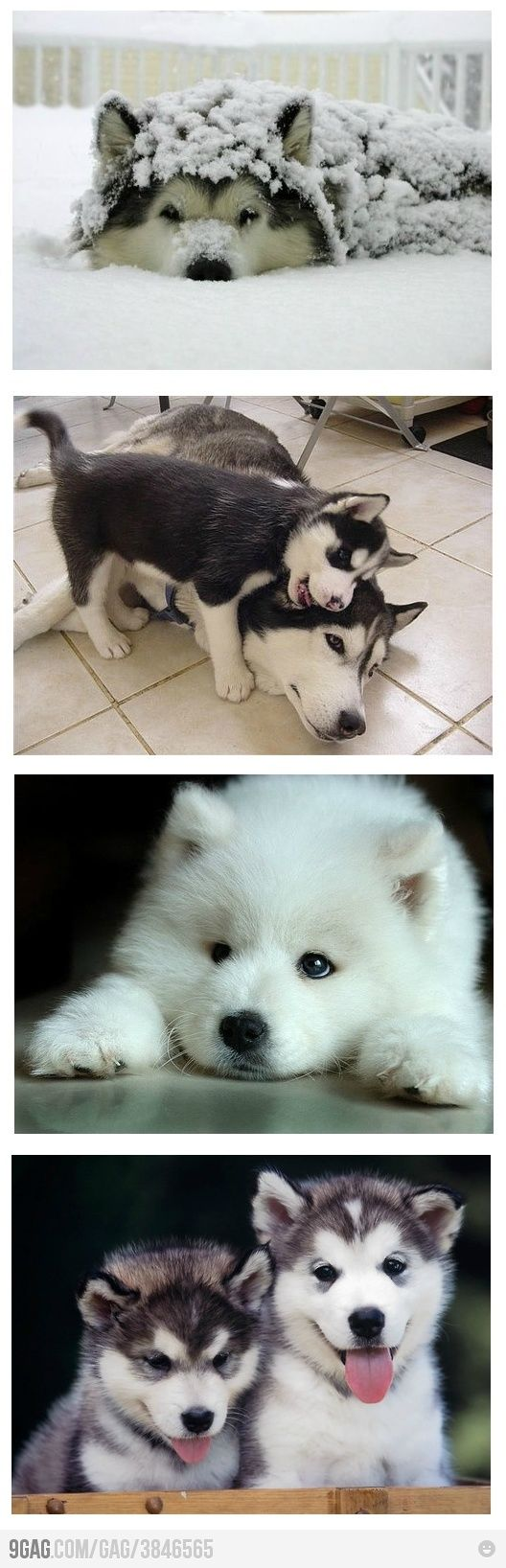 AWWWW........ IV'E ALWAYS WANTED A HUSKEY!! THEY SOOOOO ADORABLE AND PROTECTIVE!! <3