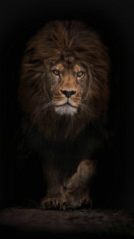 Modern Home Decor HD Prints oil painting canvas wall art Animal Lion King dw229