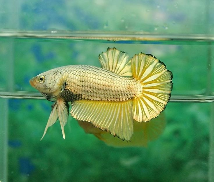 2551 best images about betta fish on pinterest for Floating plants for betta fish