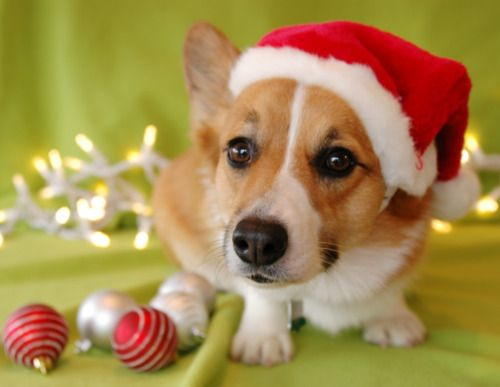 An adorable Pembroke Welsh Corgi puppy --- would love to have one of those under my tree!