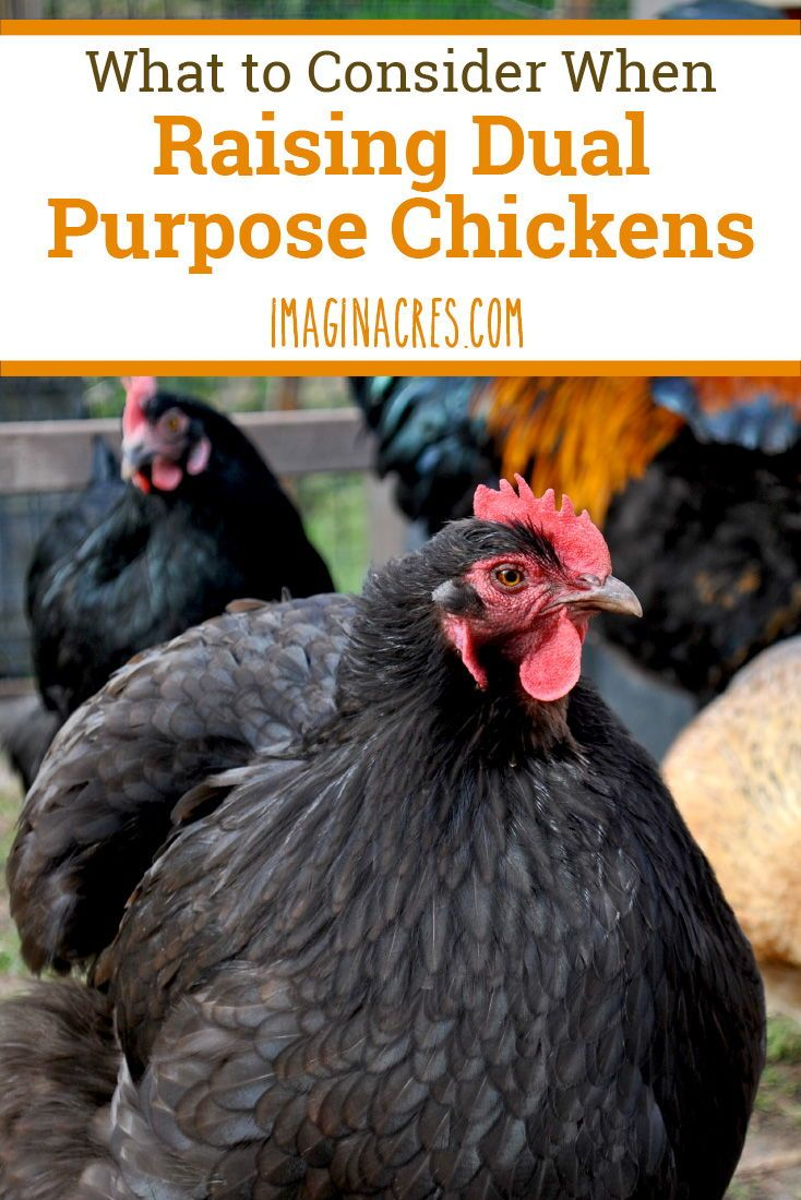 The Trouble with Dual Purpose Chicken Breeds