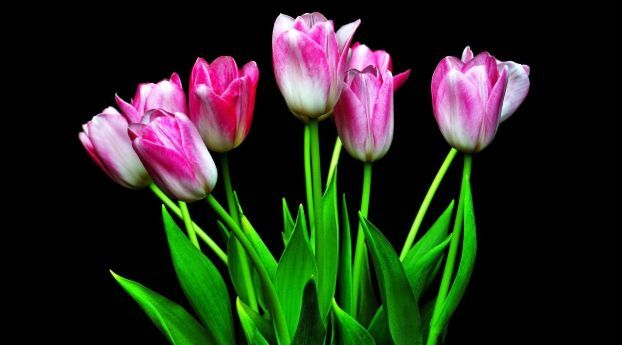 2248x2248 Tulips Flowers Flower 2248x2248 Resolution Wallpaper Hd Flowers 4k Wallpapers Images Photos And Background Flowers Black Background Background Hd Wallpaper Tulips