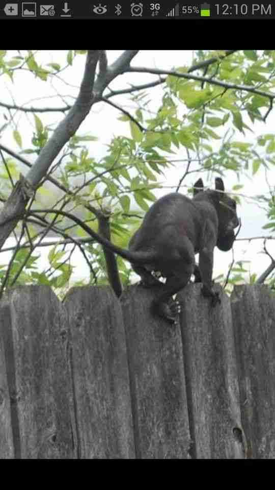 """COVERT SCIENCE- In 2011 this pic was posted online anonymously from Trent, NJ. The posting ran thus: """"My BF was taking pics of me when there was a commotion next door & this thing scrambled over the fence & halted, 3ft from him. It was horrible—it had big, bugged-out red eyes, a huge jaw & nasty, yellow lower tusks. It turned & he finally unfroze & snapped a picture before it disappeared. I wish he'd gotten its face! We'd ever seen anything like it."""" Has anyone? """"Current…"""