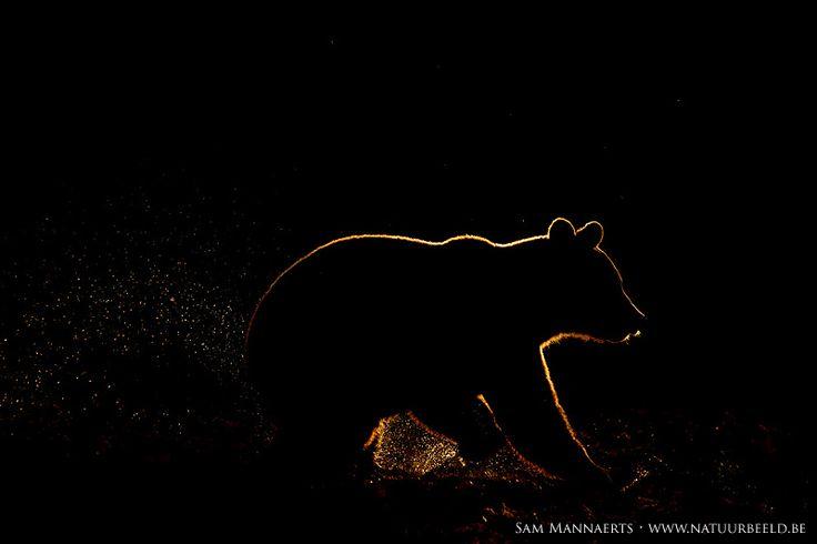 Brown bear silhouette by Sam Mannaerts, via 500px
