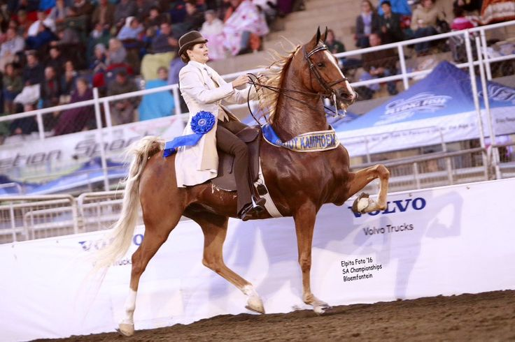 "Saddle Horses SA on Twitter: ""2016 SA Grand Champion Amateur Five Gaited – Nite Of Clouds – shown by Sally Mc Naughton. (Photo courtesy of Elpita) https://t.co/jcJeqIw40x"""