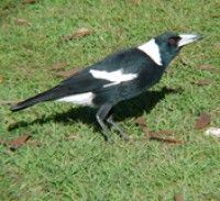 Magpies sing so beautifully! We've been seeing a lot of them at the hospital lately.