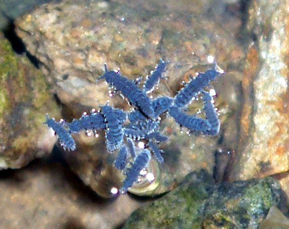 Anurida maritima est un collembole (s/embranchement des hexapodes) cosmopolite vivant dans l'estran et pouvant se trouver dans les mares résiduelles.