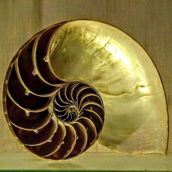 Nautilus Shell, Zoological Museum In Strasbourg Concha De Nautilus, Museo  Zoológico De Estrasburgo Nautilus