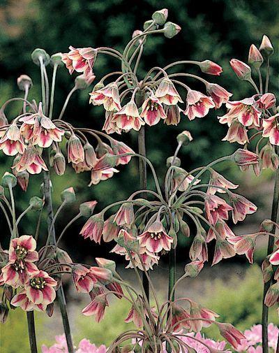 Nectaroscordum siculum. Z5-9. 36-48in tall. Full sun and average watering. Soil pH: 6.1-7.8.