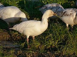 Chen caerulescens - Oie des neiges - Snow Goose