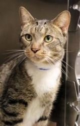 Louie is an adoptable Domestic Short Hair - Brown Cat in Chicago, IL. Wow! Louie is one handsome dude! This sweet boy came to the shelter when his owner was moving and couldn't take him along. Louie i...