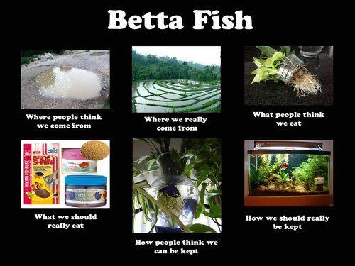 7 Best Betta Fish Memes Images On Pinterest Fish