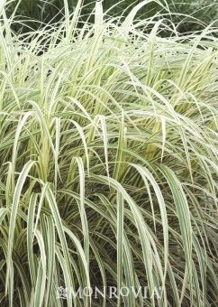 Variegated Miscanthus Grass - Classic variegated miscanthus grass is a great middle planting that excels with a green background. Fits well in any New American style landscape. Medium Shot :: Credit: Monrovia
