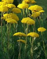 Yarrow, in yellow is a nice sunny addition to your perennial garden. Zones 3-9.