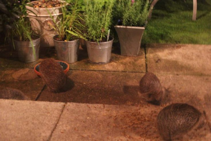 Hedgehog food - what to feed garden hedgehogs https://littlesilverhedgehog.wordpress.com/2015/12/23/feeding-garden-hedgehogs/