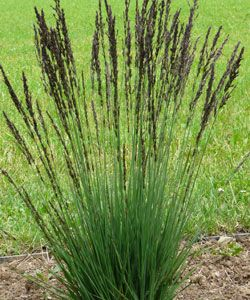Molinia caerulea 'Moorhexe' - Moor-Pfeifengras