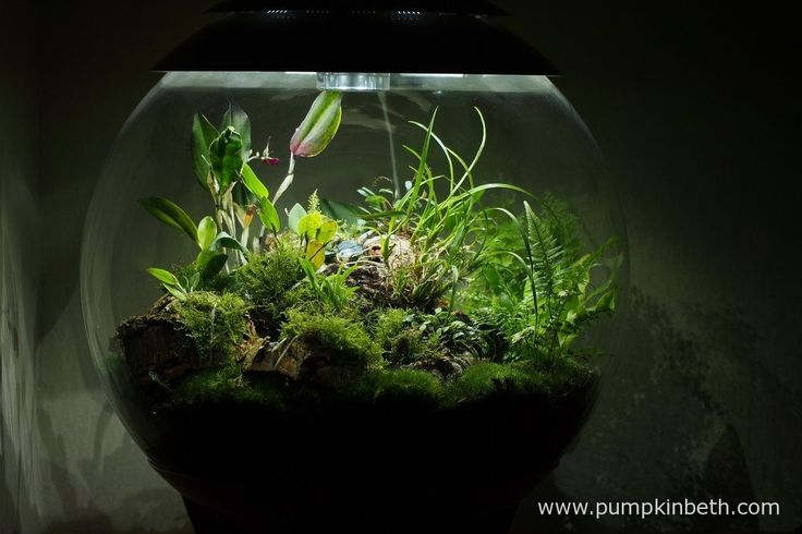 My BiOrbAir terrarium, as pictured on the 10th July 2016. Inside this terrarium, Lepanthopsis astrophora 'Stalky', Restrepia sanguinea, Restrepia purpurea 'Rayas Vino Tinto' and Restrepia antennifera are all in flower.