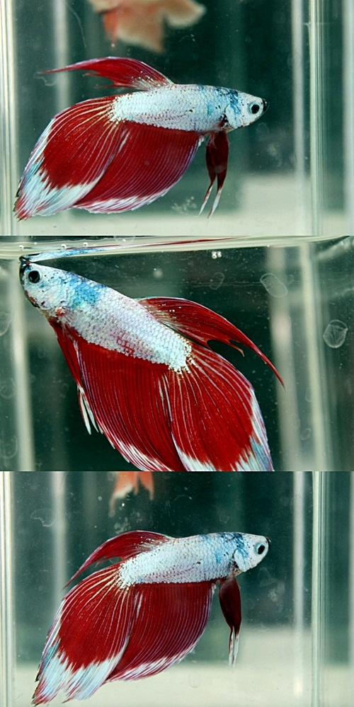 1000 images about veiltails on pinterest veils for Male veiltail betta fish