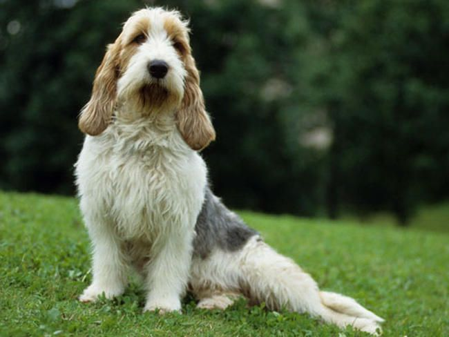 The Grand Basset Griffon Vendéen was bred in 19th-century France for chasing & retrieving hares.  It has its own stubborn thoughts on things, but is affectionate with children and other dogs.  It is also suitable for urban and cold weather living, but requires a lot of exercise.