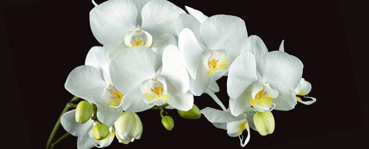 Harald Biebel: Weiße Orchidee auf schwarzem Hintergrund – Alu-Küchenrückwand | Jetzt entdecken auf www.artgalerie-bi…