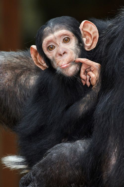 "Baby chimp"" by Florence Perroux"