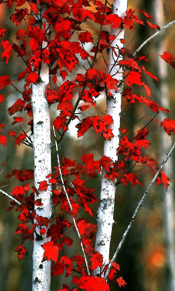фото красной березы длинном
