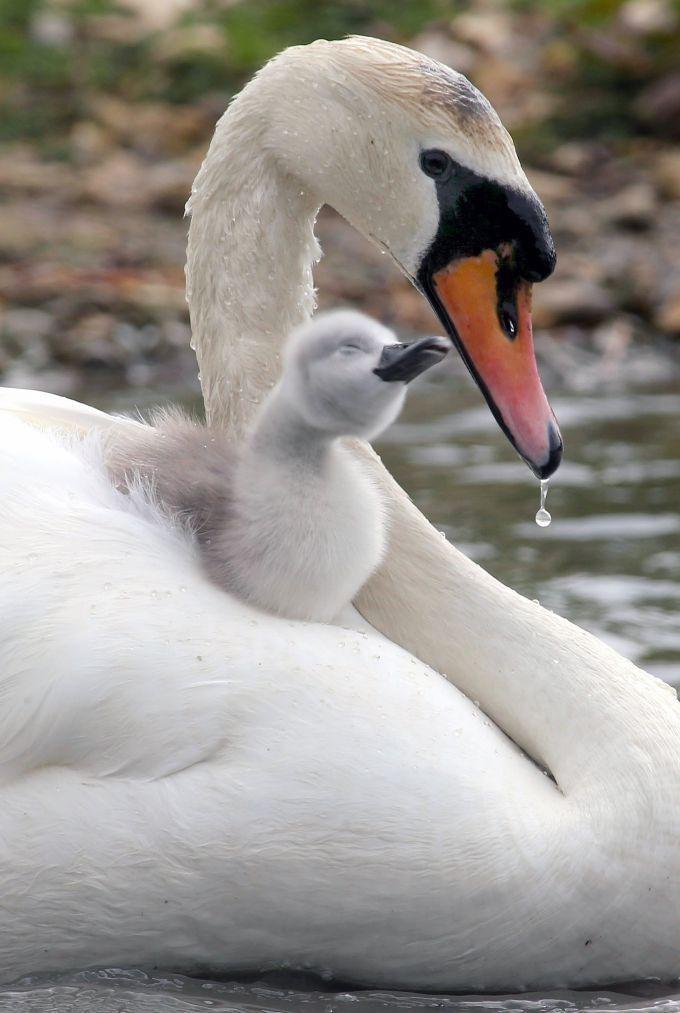 Abbotsbury Swannery er ikke en dyrehage, det er et reservat som tilrettelegger for svanene. Foto: Richard Austin - Rex Features/All Over Press.