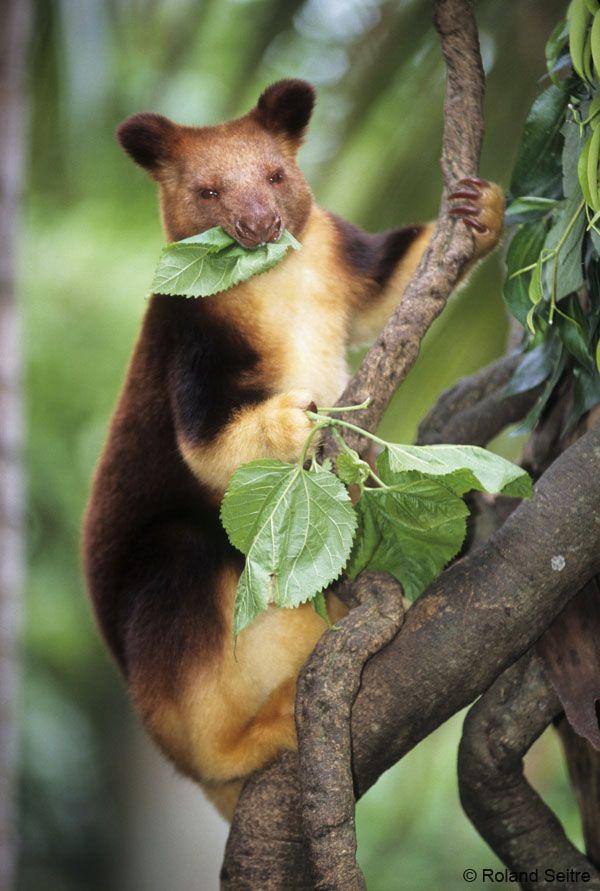 Save The Golden Mantled Tree Kangaroo - ThingLink