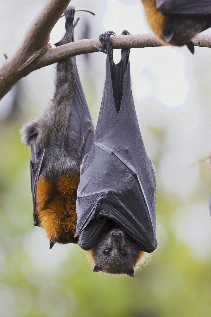 https://flic.kr/p/8wFiEY | Grey-headed Flying Foxes, Australia | Pteropus poliocephalus,  roosting at a daytime camp near Allora, Queensland, Australia.
