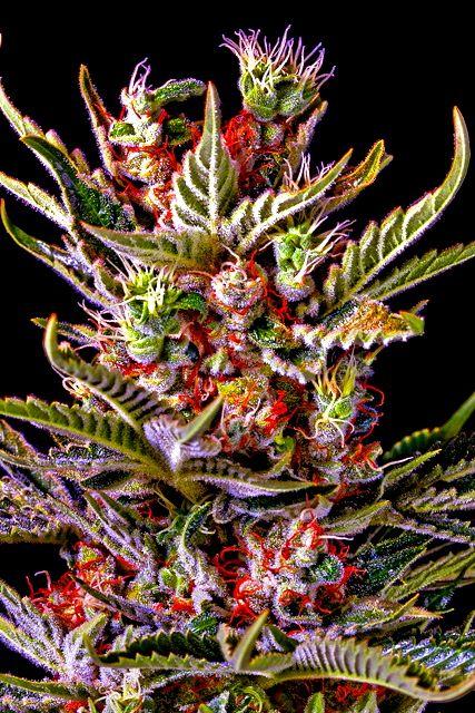 Weed | Marijuana | Cannabis : Photo