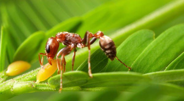Formiga Bullhorn Acacia entre as picadas de insetos mais dolorosas do mundo