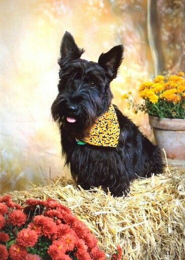 534 best images about SCOTTISH TERRIER on Pinterest ...