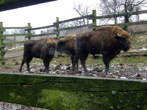 The Bison park Lovce. It is designed to hold 12 bison.